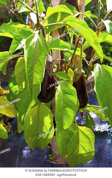 Eggplant plant Solanum melongena, known as the aubergine, brinjal eggplant, melongene, brinjal or guinea squash Solanaceae family It was domesticated in India...
