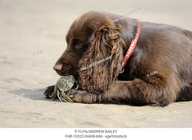 Domestic Dog, English Cocker Spaniel, working type, male puppy, sixteen-weeks old, chewing Shore Crab (Carcinus maenas) on beach, near Nash Point