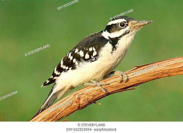 Hairy Woodpecker (Picoides villosus) on a branch with a green background