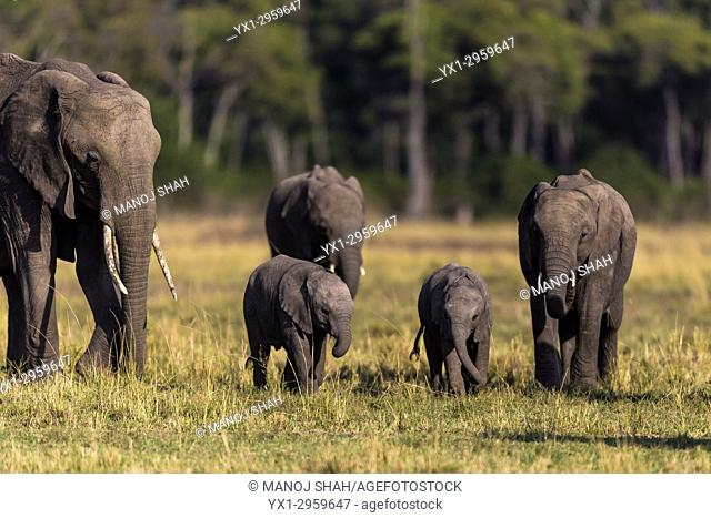 African Elephant herd on the move in Masai Mara National Reserve, Kenya
