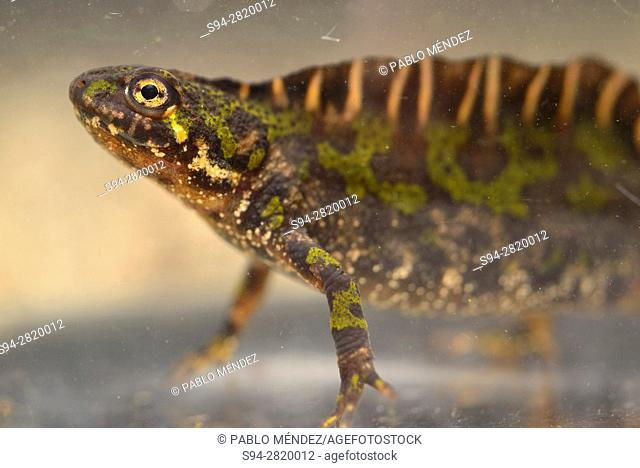 Marbled newt (Triturus marmoratus) in Valdemanco, Madrid, Spain