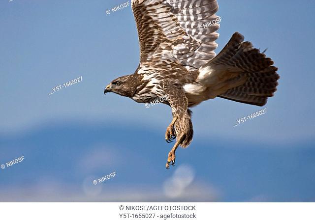 Common Buzzard Buteo buteo flying  Athens  Greece