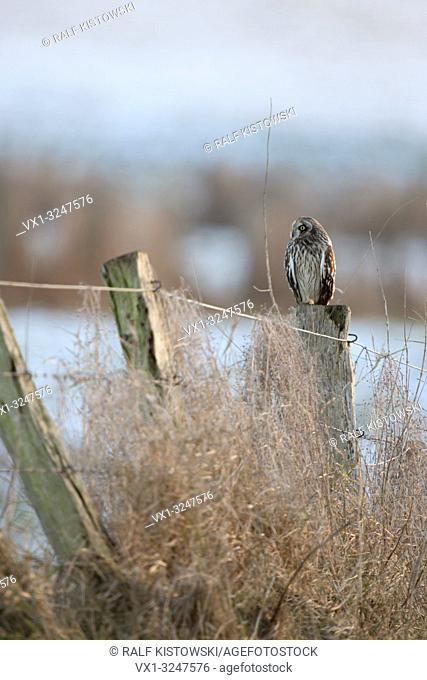 Short-eared Owl / Sumpfohreule ( Asio flammeus ) winter guest, resting on an old fence pole, surrounded by snow covered pastures