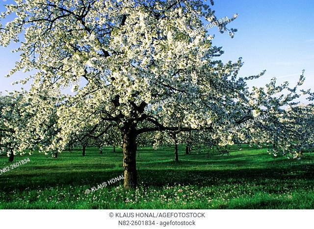 Cherry trees in full of blossom in spring - Hesselberg region, Bavaria/Germany