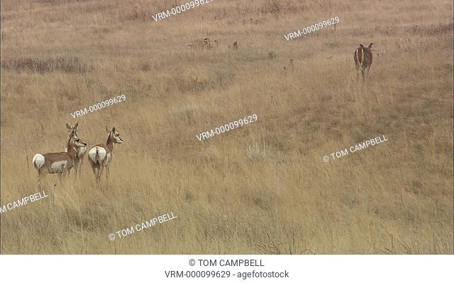 Whitetail Odocoileus virginianus doe and pronghorn Antilocapra americana in grass. National Bison Range, MT, USA
