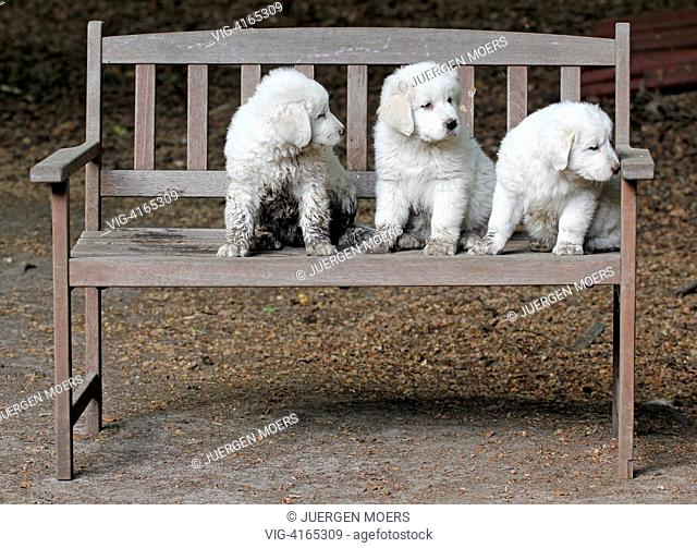 23.05.2011, Germany, Dorsten, young Abruzzen Abruzzese dogs sitting on a bench