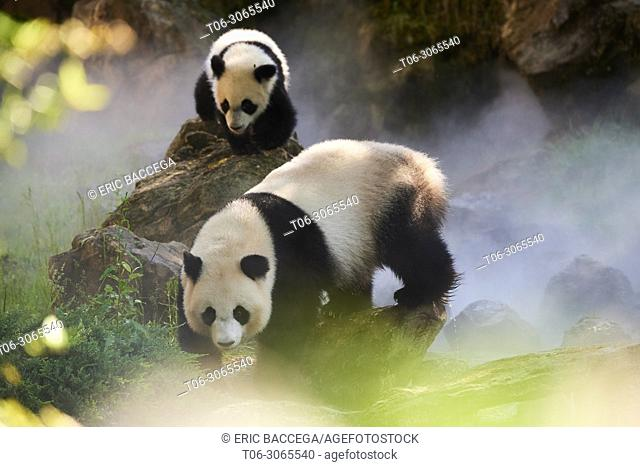 Female giant panda Huan Huan and her cub (Ailuropoda melanoleuca) out in their enclosure on a misty morning. Yuan Meng, first giant panda ever born in France