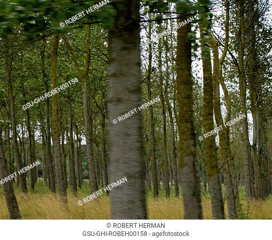 Crowded Trees, Ille de Ré, France