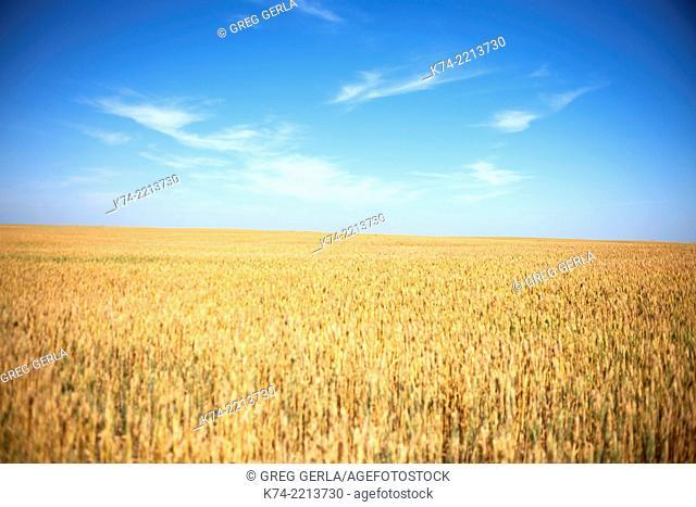 Wheatfield on the Prairies