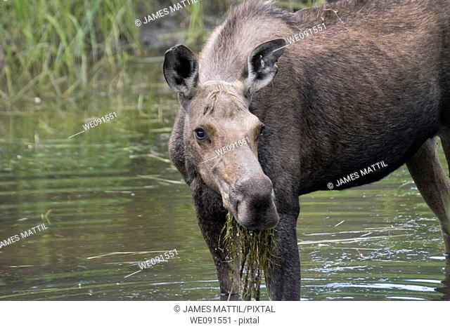 A female moose chomps on river foliage in Grand Teton Park along the Snake River, Wyoming