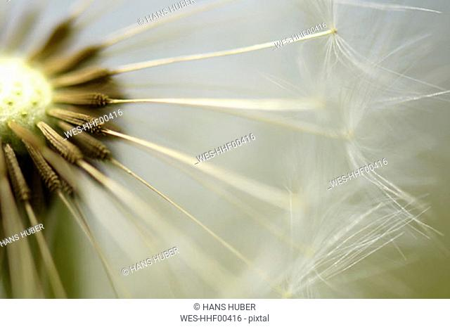 Dandelion, blow ball, close-up
