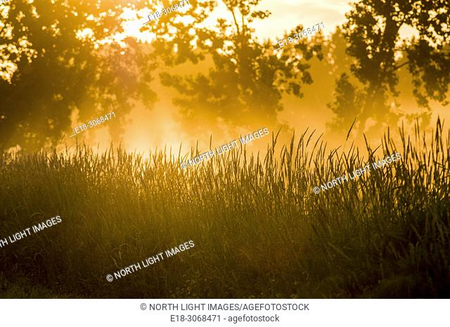 Canada, BC, Ladner. Back-lit grasses in rural community near Vancouver