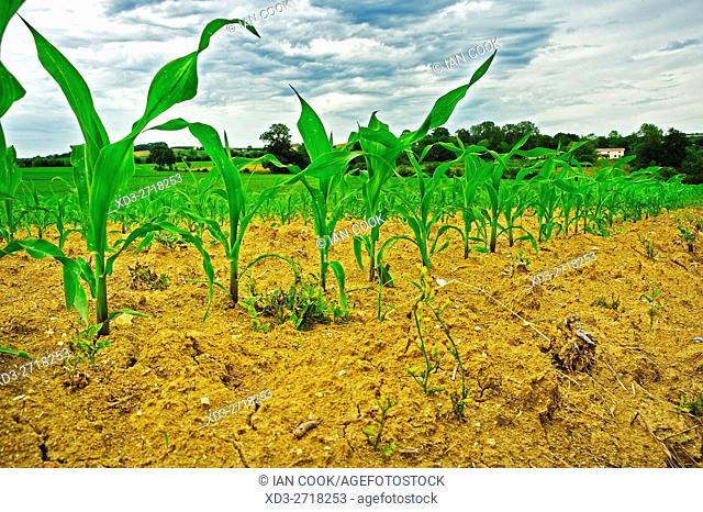 corn field in spring, Lot-et-Garonne Department, Aquitaine, France
