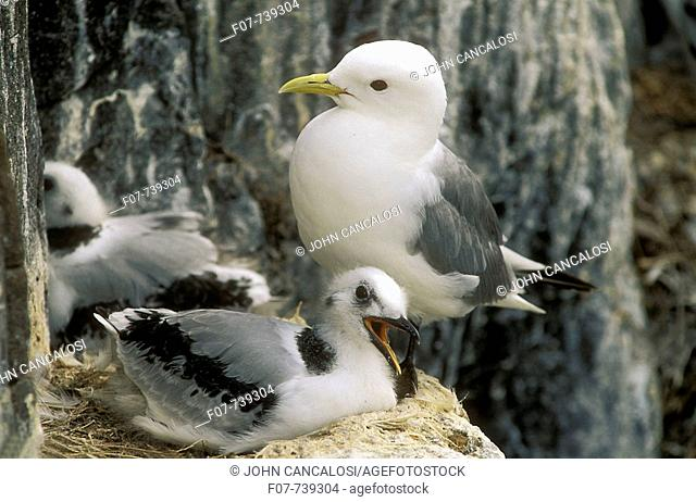 Kittiwake (Rissa tridactyla) and Fledgling at nest, UK