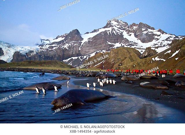 Southern elephant seal Mirounga leonina breeding colony on South Georgia Island in the Southern Ocean  MORE INFO The southern elephant seal is not only the most...