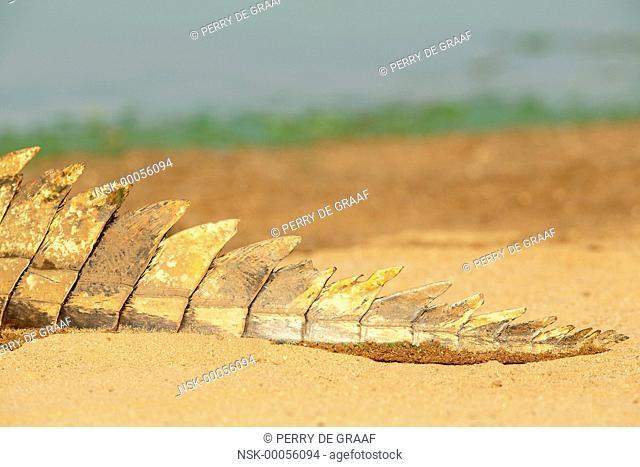Nile Crocodile (Crocodylus niloticus), part of the tail, South Africa, Mpumalanga, Kruger National Park