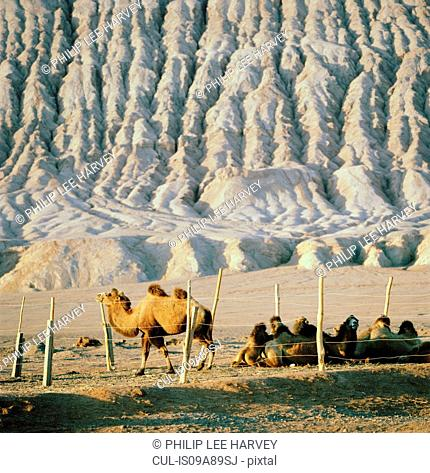 Camel pen at the foot of the Singing Sand Dunes, Silk Route; Mingsha Mountain, Dunhuang, Jiuquan, Gansu Province, China
