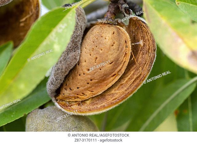 Close up of almonds in almond tree. Almansa, Albacete province, Spain