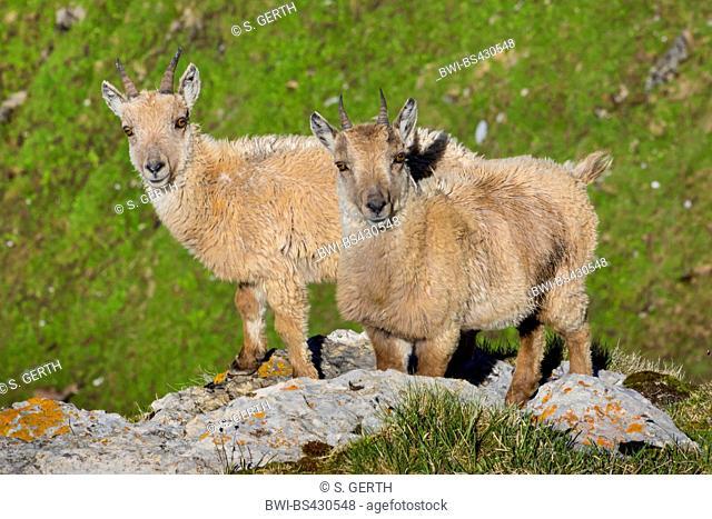 Alpine ibex (Capra ibex, Capra ibex ibex), two young ibexes in winter fur standing on a rock ledge, Switzerland, Toggenburg, Chaeserrugg