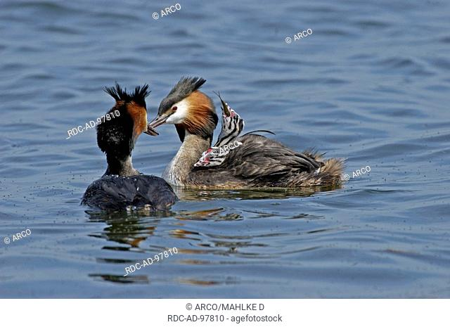 Great Crested Grebes with chicks, Lower Saxony, Germany, Podiceps cristatus