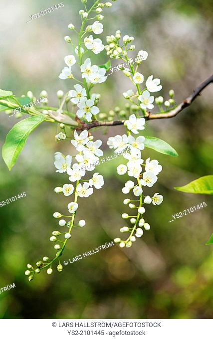 Closeup of flowers on tree in blossom at spring