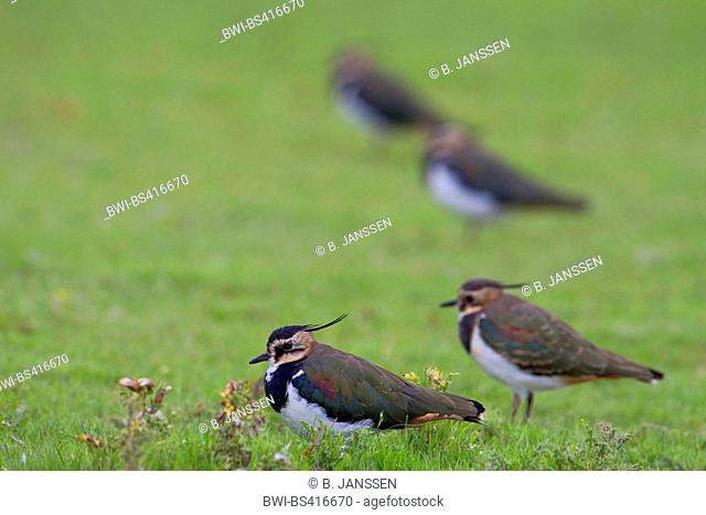 northern lapwing (Vanellus vanellus), adult birds in eclpse plumage in a meadow, Germany, Schleswig-Holstein