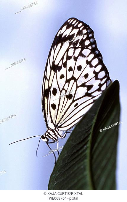 White Tree Nymphis (Idea leucone), butterfly on a leaf