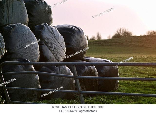Bales of Silage, a type of fodder fed to cattle during winter, stacked in a field