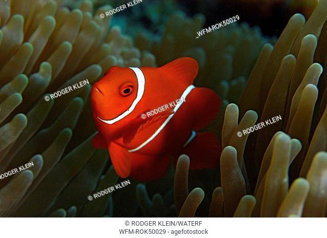 Spinecheek anemonefish, Premnas aculeatus, Great Barrier Reef, Australia