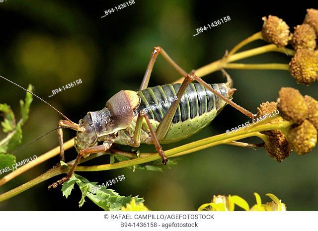 Grasshopper (Ephippiger sp., fam. Tettigoniidae). Osseja, Pyrenees-Orientales, Languedoc-Roussillon, France