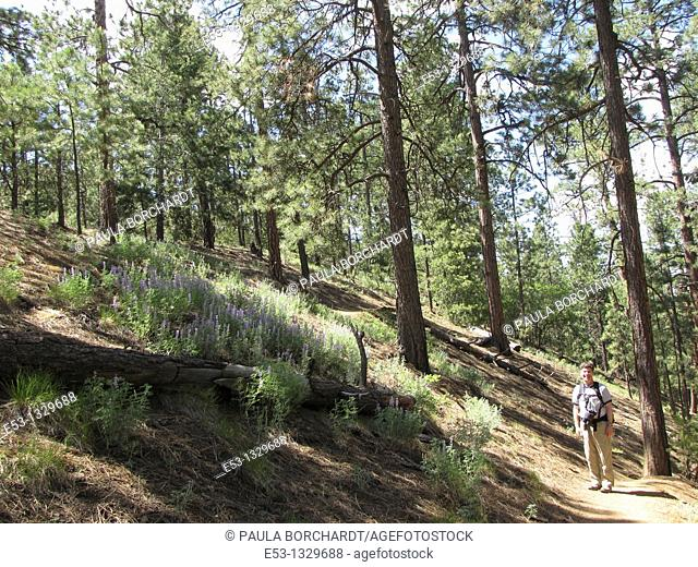 Man, 40s, hiking by hillside of lupine on Chamisa Trail, Santa Fe National Forest, near Santa Fe, New Mexico, USA