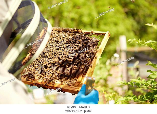 A beekeeper in a suit, with his face covered, holding a honeycomb frame covered in bees