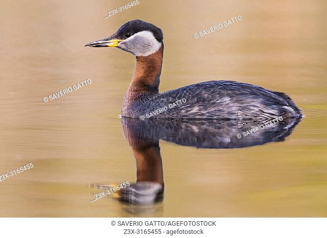 Red-necked Grebe (Podiceps grisegena), adult swimming in a lake
