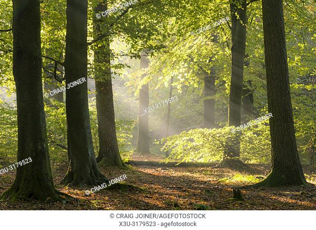Morning mist in a beech woodland. Stockhill Wood, Mendip Hills Area of Outstanding Natural Beauty, Somerset, England