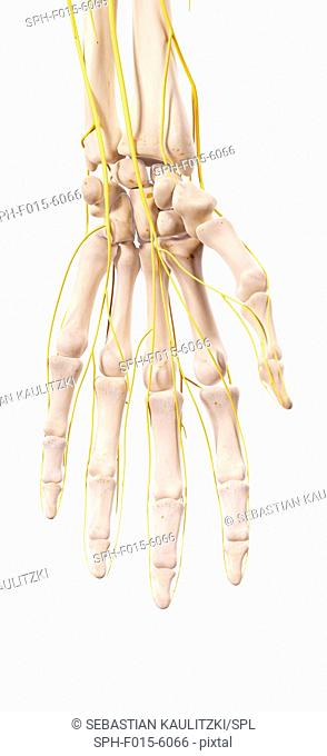 Human hand nerves, illustration