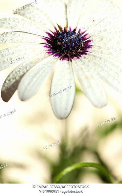 Osteospermum ecklonis or Dimorphoteca ecklonis. Cape Daisy, African Daisy