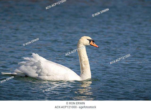 Mute Swan (Cygnus olor) on Lake Ontario at the Scarborough Bluffs in Toronto, Ontario, Canada