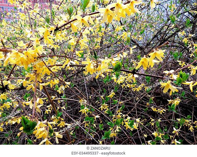 Blooming Forsythia (Forsythia), family of black olives