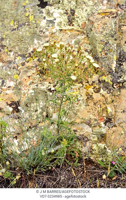 Cerraja lanuda (Andryala integrifolia) is an annual or perennial plant native to Mediterranean Basin and Macaronesia. This photo was taken in Castrotorafe