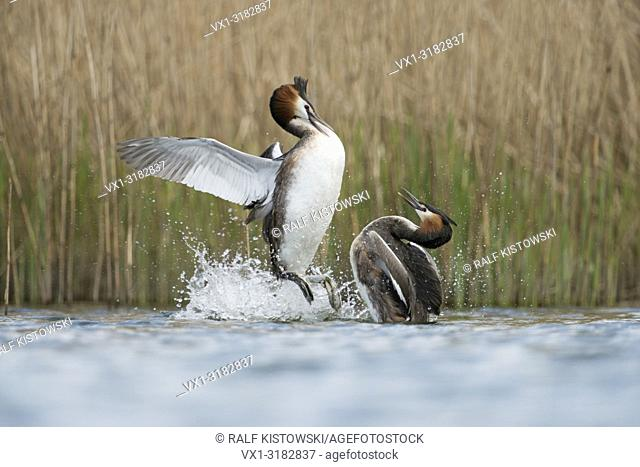 Great Crested Grebes ( Podiceps cristatus ) in aggressive fight, defensing their breeding-territories against rivals