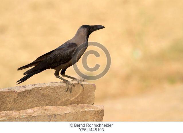 House Crow Corvus splendens sitting on wall, Madhya Pradesh, India