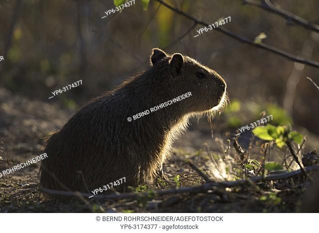 Capybara (Hydrochoerus hydrochaeris), young in backlight, Pantanal, Mato Grosso, Brazil