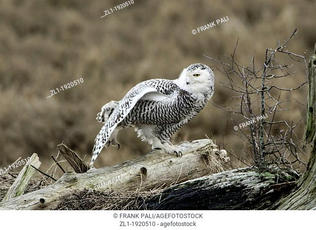 The Snowy Owl is a large owl of the typical owl family Strigidae  Its thick plumage, heavily feathered taloned feet, and coloration render the Snowy Owl well...