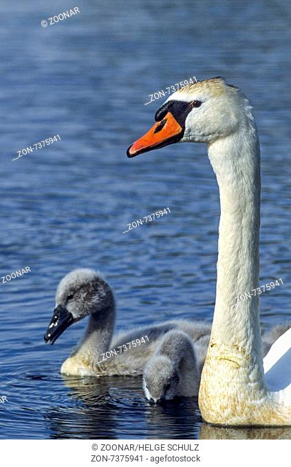 Mute Swan female bird with young birds