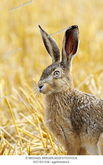 European brown hare, Lepus europaeus, Germany
