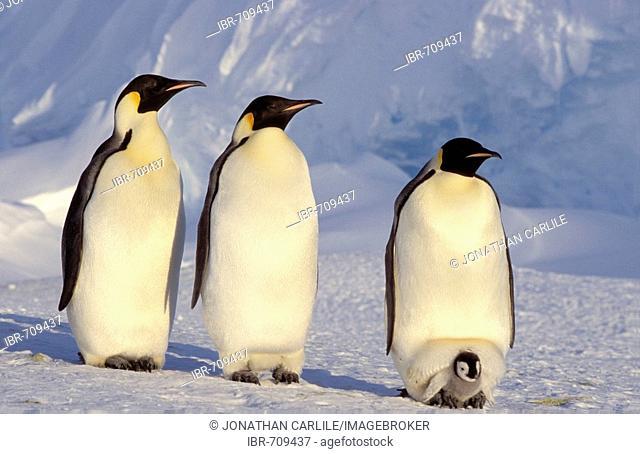 Emperor Penguins (Aptenodytes forsteri), Dawson-Lambton Glacier, Antarctica