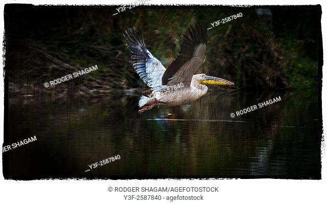 Great White Pelican. Long beak and large throat pouch