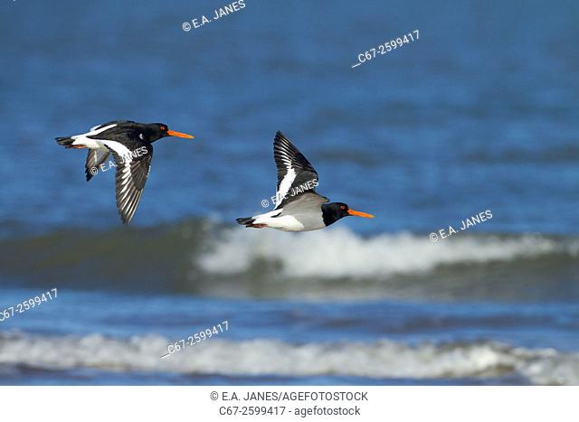 Oyster Catcher Haematopus ostralegus flying on to mussel bed as tide recedes