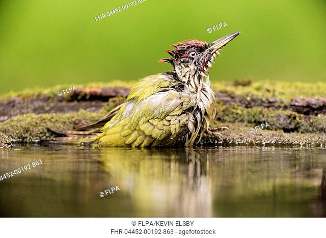 European Green Woodpecker (Picus viridis) adult male, bathing at pool in woodland, Hungary, April