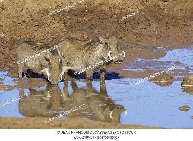 Common warthogs (Phacochoerus africanus), two adults in muddy water, drinking at a waterhole, Addo Elephant National Park, Eastern Cape, South Africa, Africa